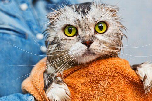 gato depois de tomar banho