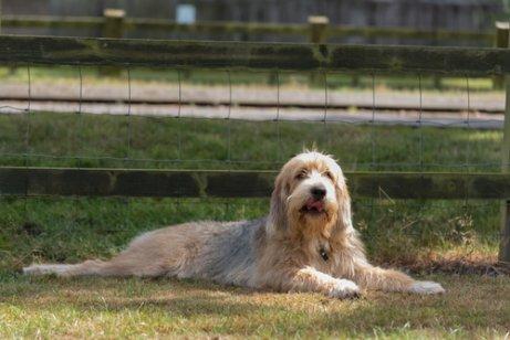 Otterhound ou cão de lontra: saiba mais sobre esse cão