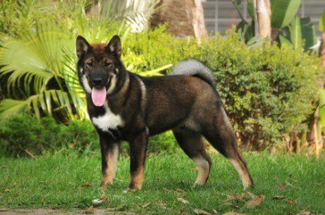Shikoku ou cão-lobo japonês: corajoso e engraçado