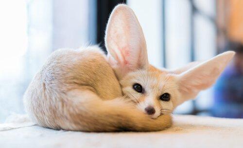 filhote de raposa-do-deserto