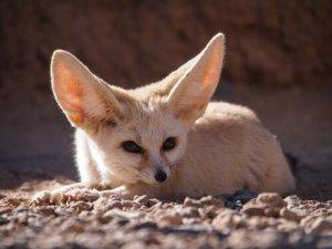 raposa do deserto feneco