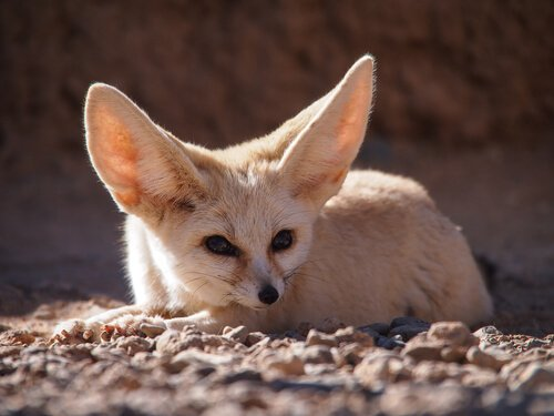 raposa do deserto ou feneco
