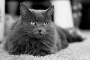 A limpeza dos olhos de um gato é importante