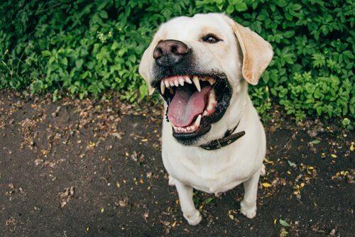 razões da agressividade em cães