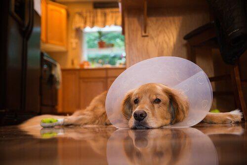 Os cuidados pós-operatórios com um cão
