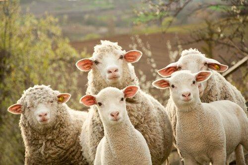 A reprodução das ovelhas