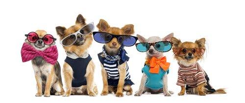 Cachorros com roupa e óculos escuros