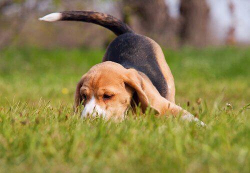 Cão sabujo farejando
