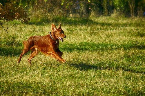 Setter correndo livremente