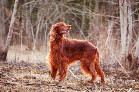 Setter Irlandês Ruivo: um cão lindo e simpático