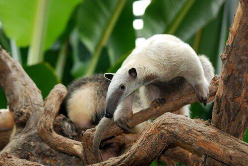 tamanduá-anão numa árvore