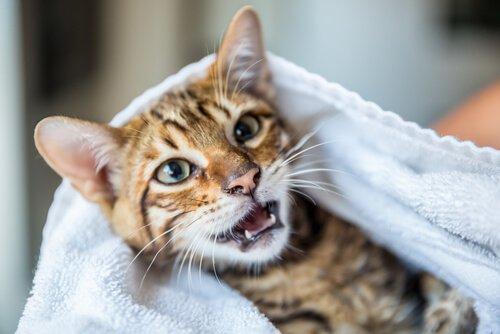 Como tirar o mau cheiro do gato sem lhe dar banho