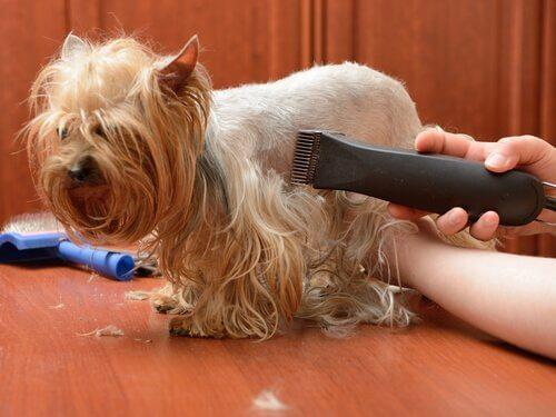 Como tosar o pelo de seu animal