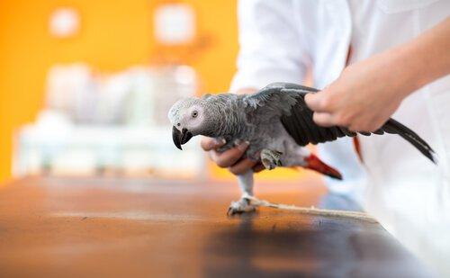 psitacose em papagaios