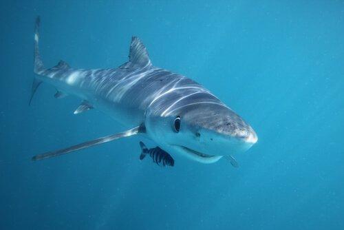 tubarão dormindo