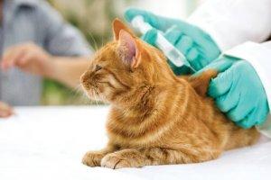 Gato tomando vacina