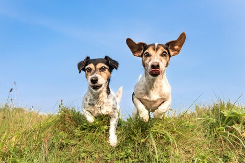 cães correndo no campo