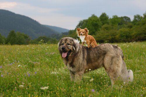 O pastor do Cáucaso, um gigante entre os cães