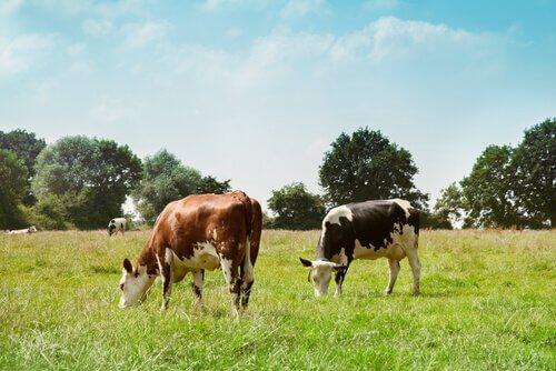 Vaca de corte