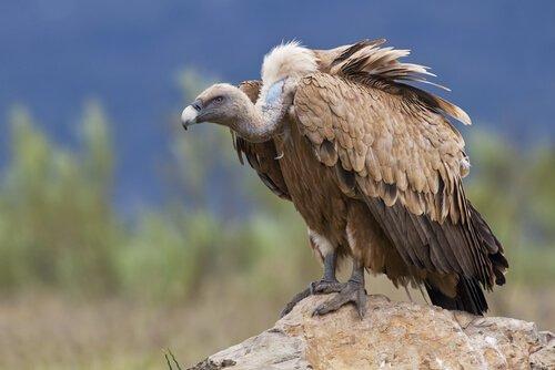 Espécies de abutres na Espanha