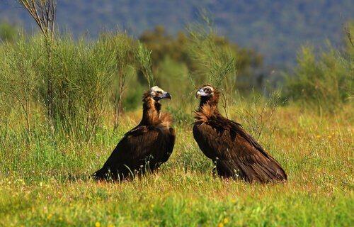 Espécies de abutres