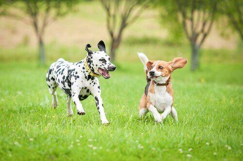 Alimentação e suplementos para cães esportistas