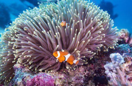 Anêmona e peixe-palhaço