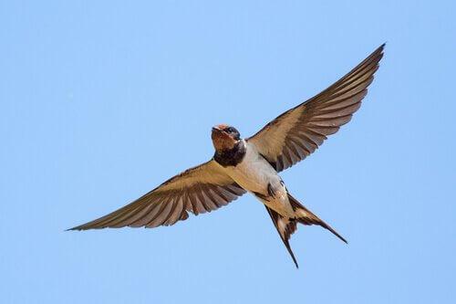 A ave migratória mais conhecida: a andorinha