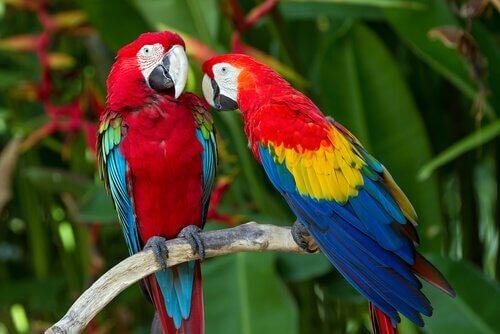 A colorida arara