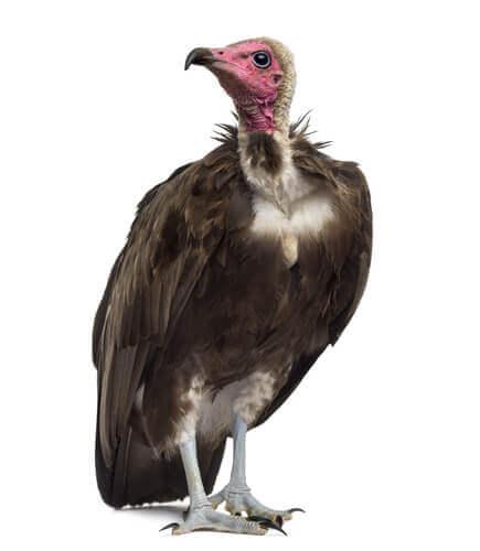 ave de rapina abutre