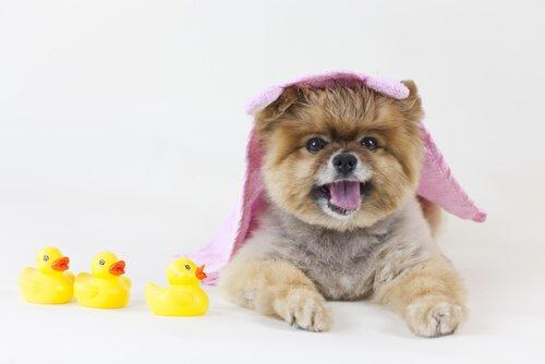 xampu seco em cães