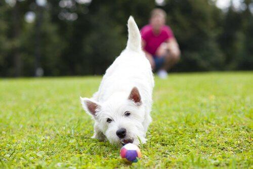 Cão e bola em jardim