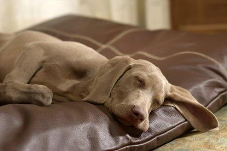 Cão dormindo em sua almofada
