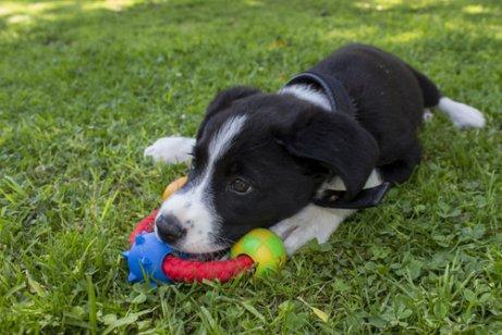 Filhote de cachorro com brinquedo