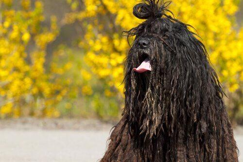 Bergamasco, uma raça de cães dos Alpes italianos