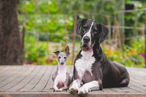 Por que cães pequenos têm mais personalidade do que cães grandes?