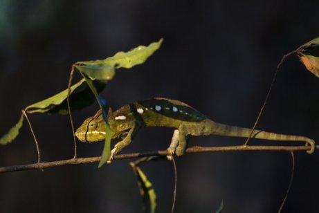 Camuflagem do camaleão