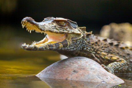 Caiman: um predador silencioso, saiba mais aqui