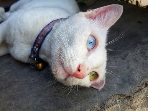 Gato Khao Manee, com um olho de cada cor