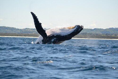 Grandes cetáceos