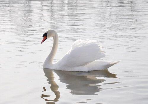 O Profeta Diário - Página 2 Cisne-branco