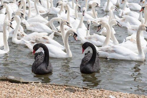 Cisnes negros e brancos: como eles se diferenciam