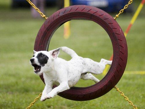 Cachorro pulando aro de obstáculo