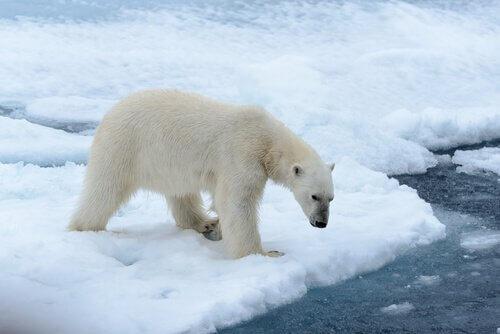 Curiosidades sobre o urso polar