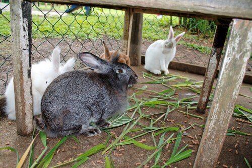 Descubra as diferenças entre coelhos e lebres