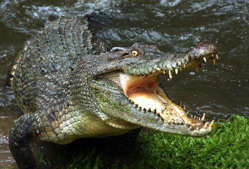 Saiba tudo sobre o perigo das águas em que vivem os crocodilos