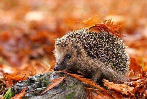 Curiosidades sobre o ouriço: habitat, características e comportamento