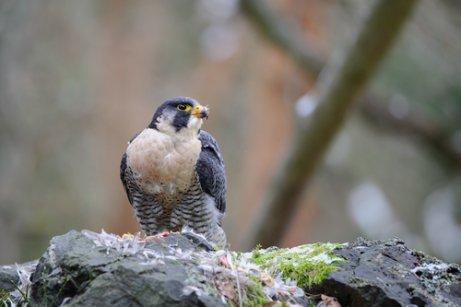 Falcão, uma ave de rapina