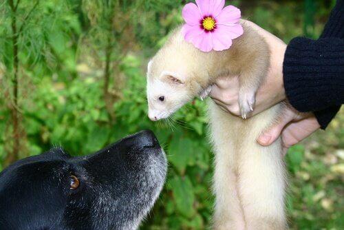 Furão e cão