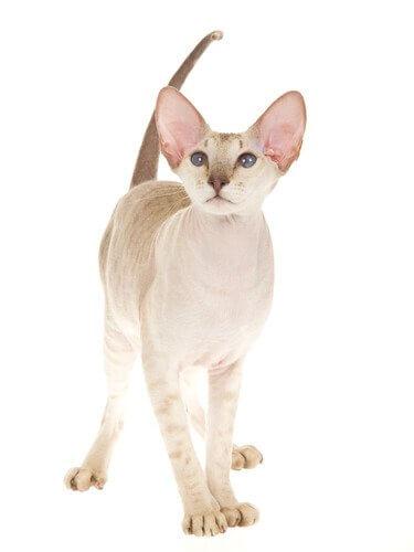 gato peterbald comportamento